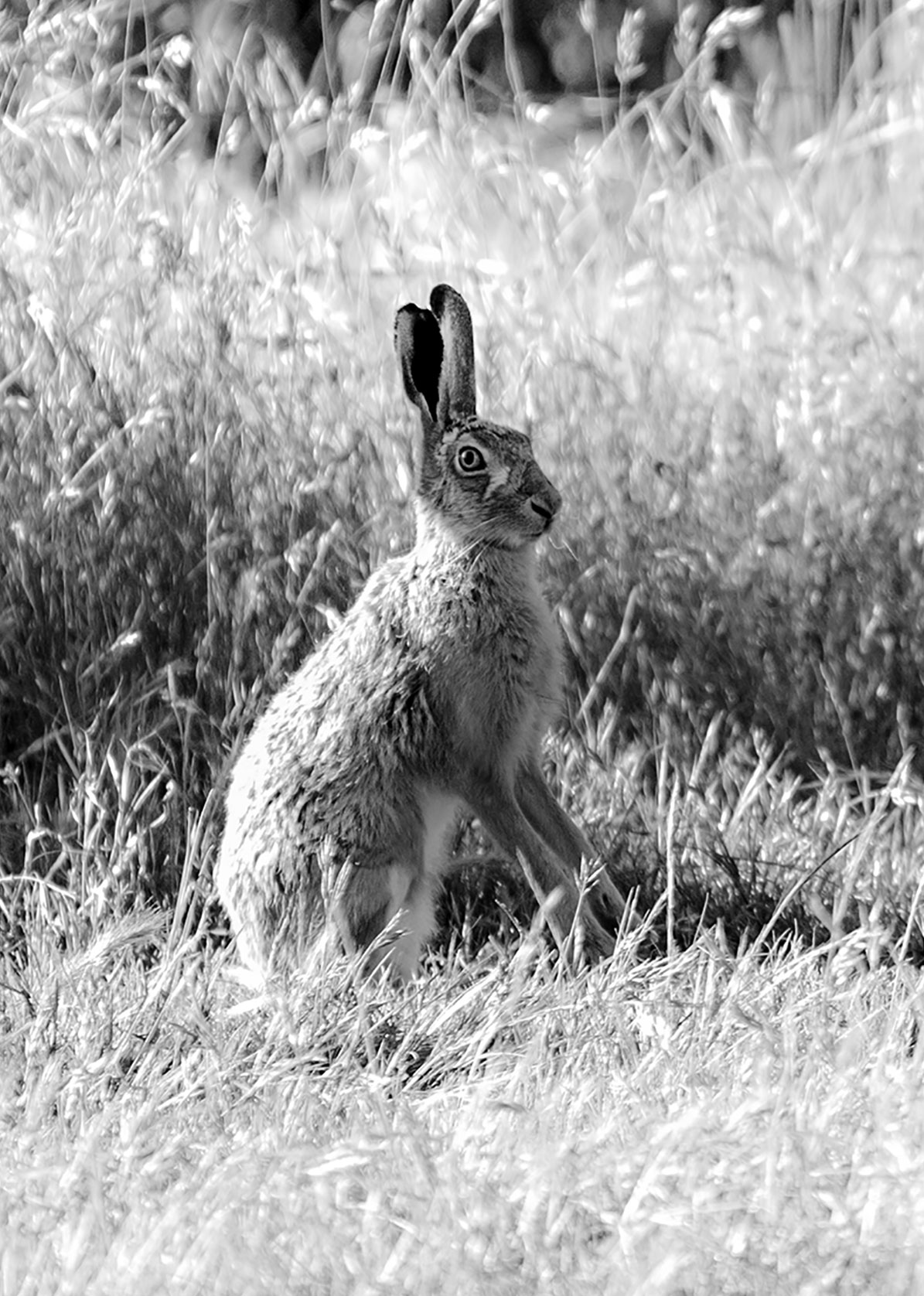 hare photography black and white fine art