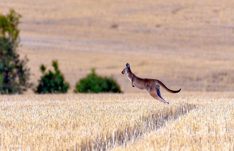 Kangaroo running across a freshly harvested paddock